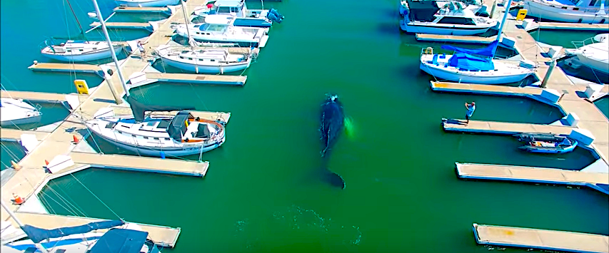humpback whale stuck in the harbour